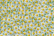 The Texture Of Many Small Flowers. White Chamomile On A Green Background.