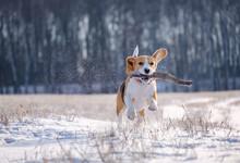 Portrait Of A Beagle Dog On A Walk On A Sunny Winter Day