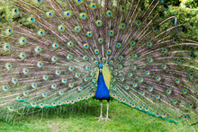 A Peacock In Holland Park In London, England