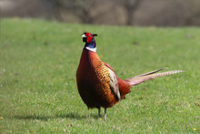 A Majestic Ring Necked Pheasant