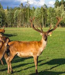 Naklejka na ściany i meble Closeup Look of Reindeers Running Around in Latvia