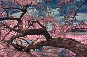 FototapetaBeautiful fantasy infrared landscape with lots of purpel elements and a deep blue sky