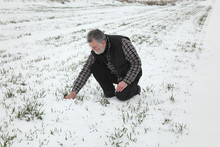 Farmer Or Agronomist Inspecting Quality Of Wheat Plants In Field Under Snow, Agriculture In Winter