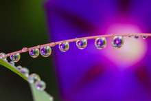 Morning Glory Flower Reflected In Dew Deops