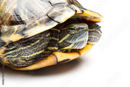 Poster Tortue side view pet turtle red-eared slider or Trachemys scripta elegans on white close up