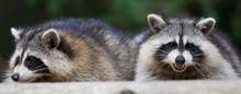 Fat Raccoon Portrait