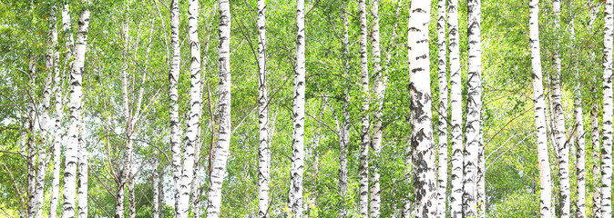 Panel Szklany Popularne Beautiful birch trees with white birch bark in birch grove with green birch leaves