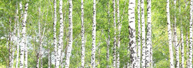 Fototapeta Popularne Beautiful birch trees with white birch bark in birch grove with green birch leaves