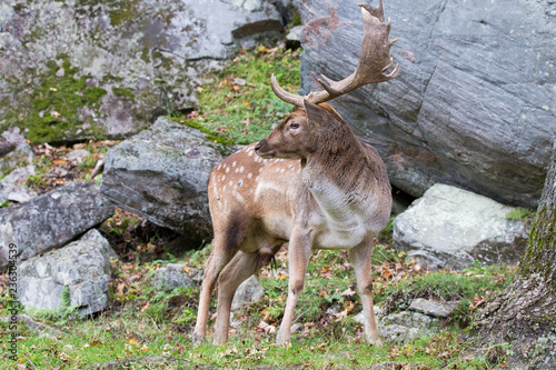 Photo  fallow deer in rut