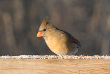Female Cardinal On Railing