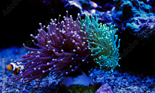 Euphyllia torch colorful LPS coral in Reef aquarium