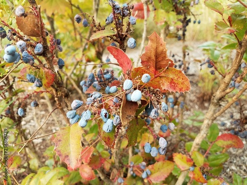 Fotografie, Obraz  red and green leaves with blue berries
