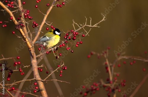 Canvas Print tit sits on a hawthorn tree