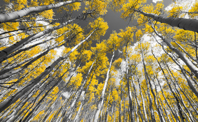 FototapetaCanopy of black and white aspen trees with yellow leaves
