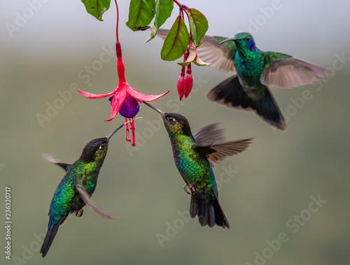 Photo  Hummingbird in Costa Rica