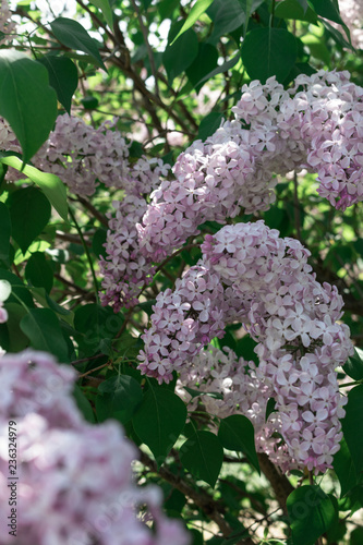 Branch of blooming lilac