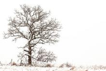 A Leafless White Oak Tree On T...