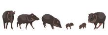 Set Wild Animals Peccari. Animals Of Amazonia And South America. Vector