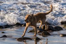 Golden Retriever Mixed Breed Dog Having Fun Running At Full Speed Along The Ocean Water Edge In Ventura, California, USA On November 28, 2018.