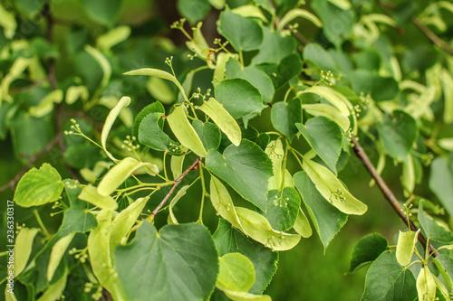 Small leaved lime (Tilia cordata) leaves and fruits growing on tree branches Billede på lærred