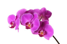 Pink Phalaenopsis On A White Background, Flowers Closeup, Branch Of Orchid.