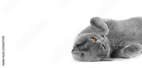 Fotografie, Obraz  Purebred gray shorthair cat on isolation