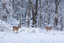 Two Deer In A Snowy Winter Forest