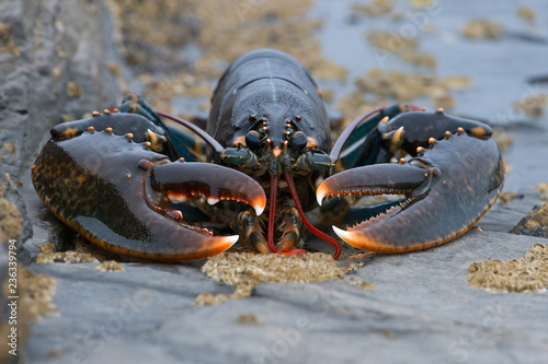 European Lobster (Homarus gammarus)/ Lobster on barnacle encrusted rock