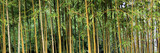 Bamboo grass stalk plants stems growing in California park like grove