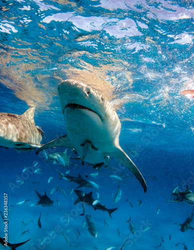 Lemon shark at the Bahamas