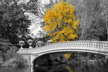 Yellow Tree At Bow Bridge In Central Park Fall Landscape Scene In New York City