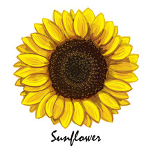 Beautiful Hand-drawn Sunflower (helianthus) In Vector. Realistic Sunflower Close-up. Botanical Element For Design.