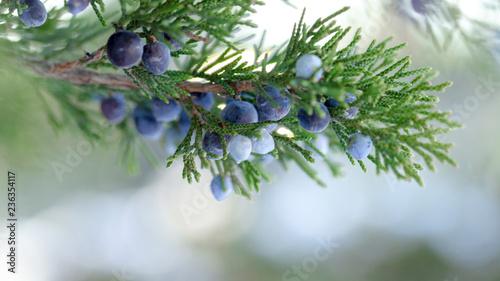 Fototapeta Beautiful bush of a juniper with berries obraz