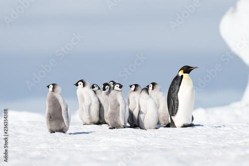 Spoed Fotobehang Pinguin Emperor Penguin with chicks