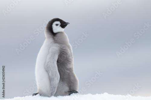 Photo sur Toile Pingouin Emperor Penguin chick