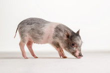 Pink Pig Stands On The Floor In The Studio On A White Background