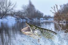 Winter Fishing. Big Pike Fish Jumping With Splashing In Water