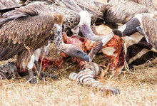 High Angle View Of Vultures Eating Zebra On Grassy Field