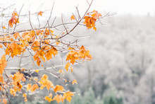 An Image Of A Tree Branch With  Bright Orange And Yellow Leaves Is In Front Of A Forest Of Trees With Barren White Icey Branches