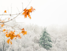 One Evergreen Stands Tall Above A Forest Of Trees With Barren White Icey Branches