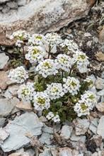 Hornungia Alpina (Pritzelago Alpina), On Stony Ground, Grisons, Switzerland, Europe