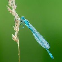 Azure Damselfly (Coenagrion Puella) Sits On Grass Ear Covered With Dewdrops, Male, Burgenland, Austria, Europe