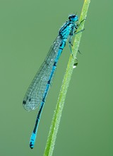 Azure Damselfly (Coenagrion Puella) Sits On Grass Covered With Morning Dew, Male, Burgenland, Austria, Europe
