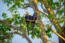 Hyacinth Macaws (Anodorhynchus...