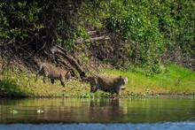 Jaguars On Banks Of Rio Negro, Brazil