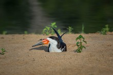 Black Skimmer (Rynchops Niger) In Its Breeding Hollow In The Sand At The River, Alto, Pantanal, Mato Grosso Do Sul, Brazil, South America