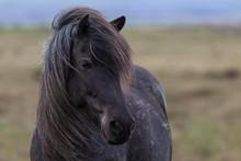 Icelandic Horse, Animal Portra...