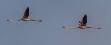 Two Greater Flamingos (Phoenicopterus Roseus), Flying, Comacchio, Emilia-Romagna, Italy, Europe
