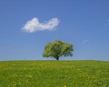 Single Fruit Tree On Dandelion...