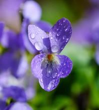 Wood Violet (Viola Odorata), Flower With Drops Of Water, Upper Bavaria, Bavaria, Germany, Europe
